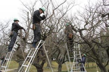 後楽園で始まった梅の剪定作業