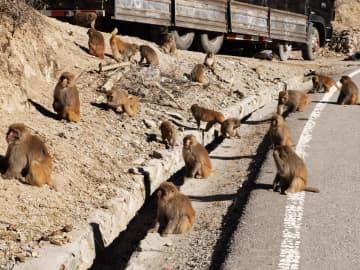かわいいしぐさに癒される 村の空き地にサルの群れ出没 四川省