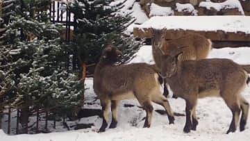 クリスマスツリーがごちそうに! リサイクルしてプレゼント ロシア・モスクワ動物園
