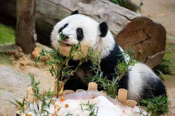 やんちゃな姿がかわいい マレーシア生まれのパンダ「誼誼」2歳に