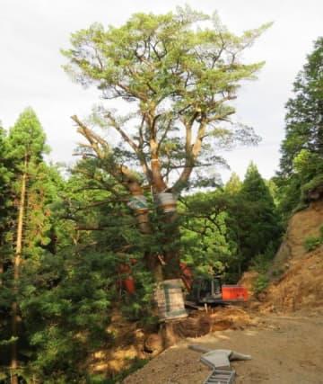 盗掘されそうになった延岡市北川町の県有林に自生するイヌマキ。現場には重機があり、根から掘り起こされようとしていた=昨年5月30日(県提供)
