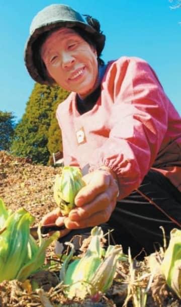 フキノトウを収穫する森貴子さん。「天ぷらで食べたら一番おいしい。独特の風味を楽しんで」=竹田市高伏
