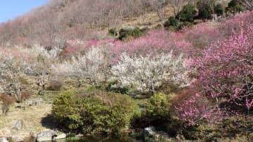 幕山の斜面に広がる梅の「じゅうたん」=湯河原町鍛冶屋(同町提供)