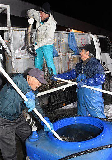 漁獲したサケをトラックに積み込む漁協関係者ら=15日午前5時46分、八戸港第3魚市場C棟前岸壁