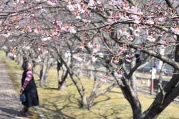 淡いピンクの花がほころび始めた早咲き桜「日南寒咲1号」
