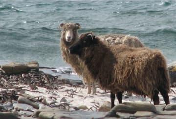 North Ronaldsay sheep on North Ronaldsay beach by Ian Caldwell