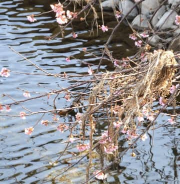 枝に草を巻き付けたまま咲いた河津桜
