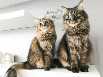 ゴージャスな兄妹猫(左がナスカちゃん、右がテオくん)