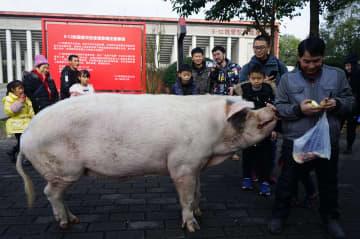 四川大地震を生き抜いた豚「猪堅強」、新居へ