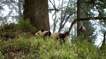 赤外線カメラが捉えた野生パンダの親子タイム 四川省