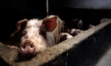 大马虽未有非洲猪瘟,惟沈志勤提醒检疫仍需加强