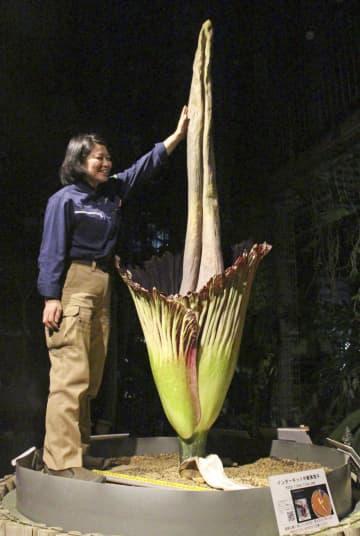 茨城県つくば市の国立科学博物館筑波実験植物園で開花した「ショクダイオオコンニャク」=18日夜