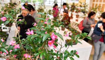さまざまな品種のツバキが展示され、多くの来場者でにぎわった=18日、那覇市おもろまち・市緑化センター