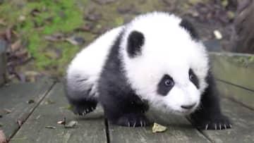 """パンダの赤ちゃん 半年で""""300倍""""に大きく! 中国"""