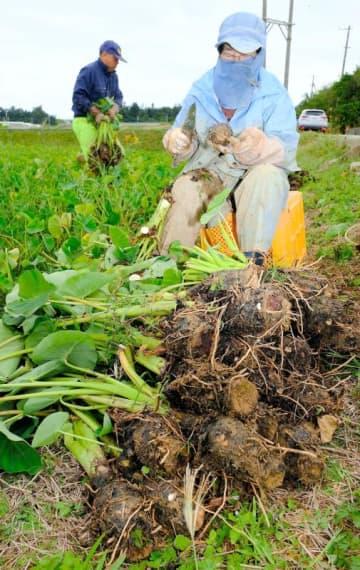 冷たい風に吹かれながら田芋の収穫をする農家=19日、金武町(古謝克公撮影)