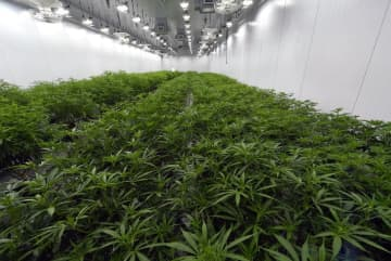 This Aug. 22, 2019, photo shows medical marijuana plants being grown before flowering during a media tour of the Curaleaf medical cannabis cultivation and processing facility in Ravena, N.Y.  (Hans Pennink/)