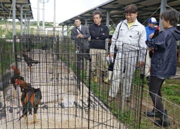 軍鶏を保護している本田京子さん(右)の説明を聞く糸満市議ら=17日、糸満市