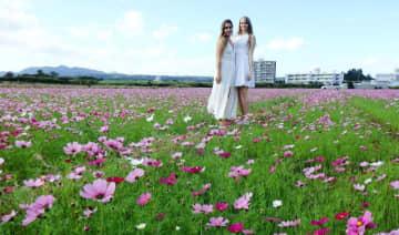 ピンクや赤、白のコスモスの花が満開になった田んぼ=6日、名護市羽地の川上ターブックヮ