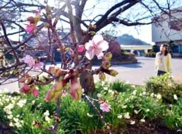 いち早く開花した「頼朝桜」=20日、鋸南町役場