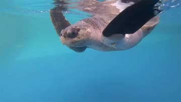前脚失ったウミガメ「人工ひれで泳げるよ!」 研究チームがタイ初の試み
