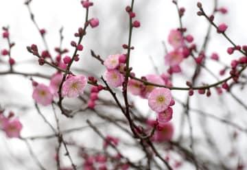 杭州植物園で梅が開花 観賞イベント開催