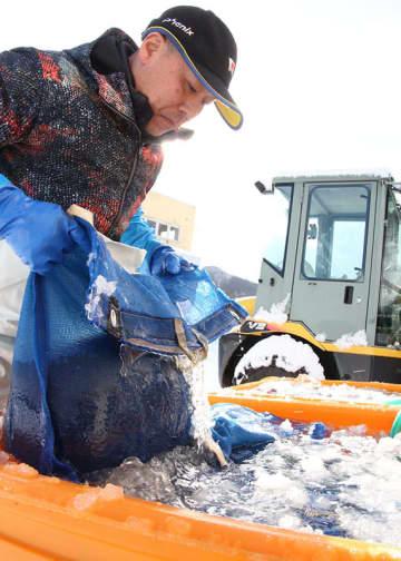 西和賀町で行われている寒ざらしそばの仕込み作業。ソバの実を氷の張った冷水ですすぐ