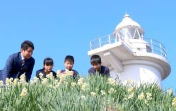 六島灯台前で咲いたスイセン