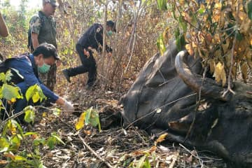 Thap Lan National Park officials examine the decomposing carcass of the gaur found near a village in Khon Buri district of Nakhon Ratchasima on Tuesday afternoon. (Photo by Prasit Tangprasert)
