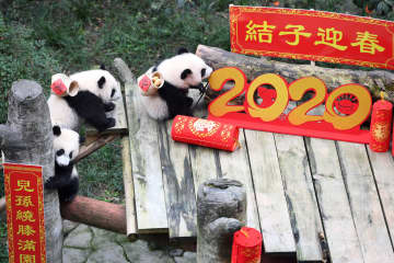 新春を迎えるイベントに赤ちゃんパンダ登場 重慶動物園
