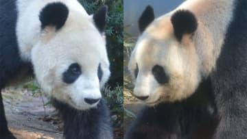 兆候は パンダに恋の季節到来 妊娠可能性わずか数日間 画像