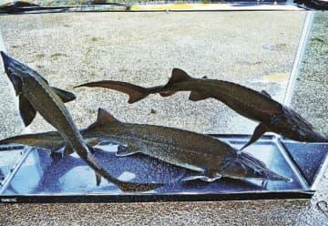実験に使ったシベリアチョウザメ(近畿大学提供)