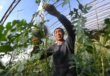 施設栽培の発展で農家の収入増 陝西省延安市