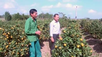 旧正月前、キンカンの手入れで大忙し ベトナム