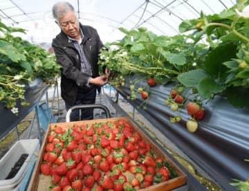 ハウス内でイチゴの収穫を行う那須さん=岡山市東区西大寺地区