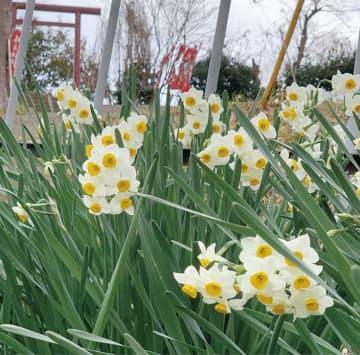 秦野・震生湖畔彩る純白の花 スイセンが見ごろに