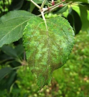 黒星病が発生したリンゴの葉(県提供)