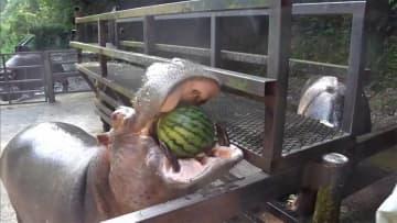 カバの動画 再生1億回 なぜ? 動物園ビックリ