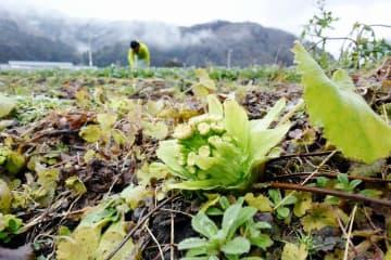 積雪のない畑に顔を出したフキノトウ=1月24日、福井県池田町薮田