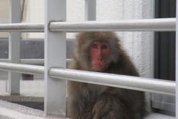 昨年12月、伊丹市内のマンションで発見されたニホンザルとみられるサル=伊丹市提供