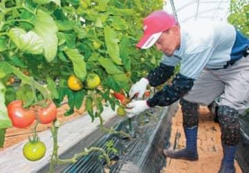 海辺育ちの甘~いトマト 日出町で収穫期迎える【大分県】