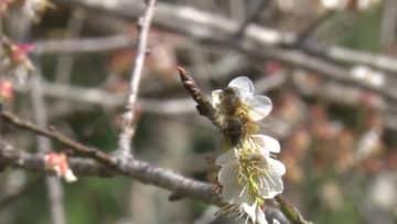 ベトナム山間部、咲き誇る梅の花