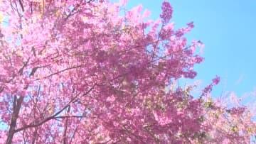 ロマンチックに桜を満喫 ピンクに染まったベトナムの街角