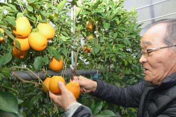 開発したブラッドオレンジの新品種を手にする山本良文さん=24日午前、松山市祝谷東町