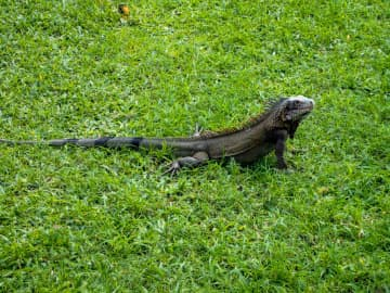 Caribbean Green Iguana sitting in the grass basking in the sun. - Dreamstime/TNS