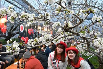 サクランボの花が咲き誇るハウス内で、関係者が一足早い春を楽しんだ=東根市神町営団通り