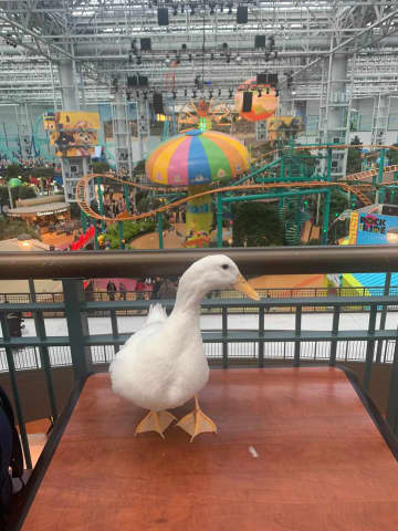 """Ben Afquack at the Mall of America. """"Pretty much, he's a duck that goes on adventures in Minnesota."""" - Courtesy Derek Johnson/TNS/TNS"""