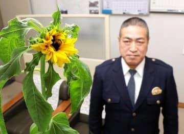 「ひまわりの絆プロジェクト」からつながり、冬に花を付けたヒマワリ