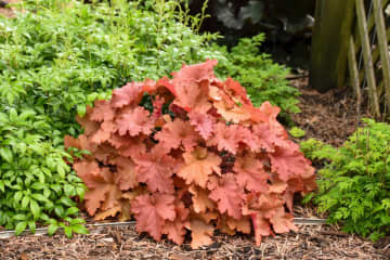 Primo Peachberry Ice heuchera is making its debut  in 2020 as part of the Proven Winners line-up. - Walters Gardens, Inc./TNS/TNS