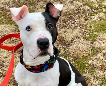 """A black-and-white pit bull, affectionately referred to as PK or """"Parkway Dog,"""" was rescued from the Garden State Parkway near Irvington on Saturday Jan. 25, 2020. (contributed photos/)"""