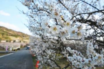 <参加者募集>早春の菜の花と曽我の梅林、川勾神社で「雛の吊るし飾り展」も